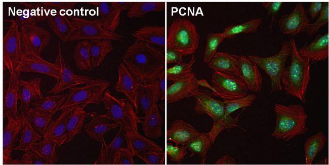 PCNA Antibody in Immunofluorescence (IF)