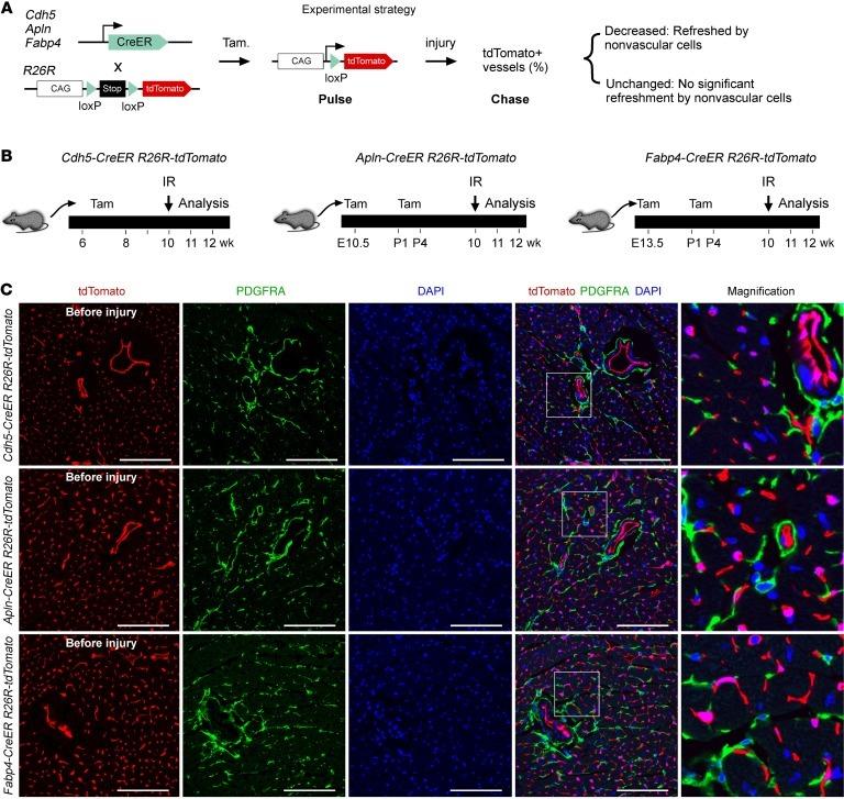 CD140a (PDGFRA) Antibody