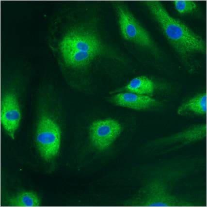 PDI Antibody in Immunocytochemistry (ICC/IF)