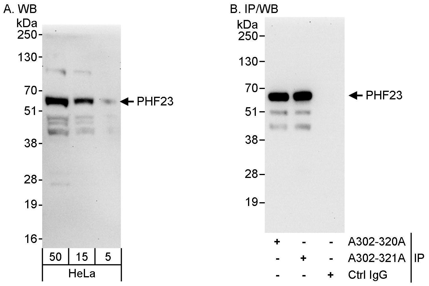 PHF23 Antibody in Western Blot (WB)