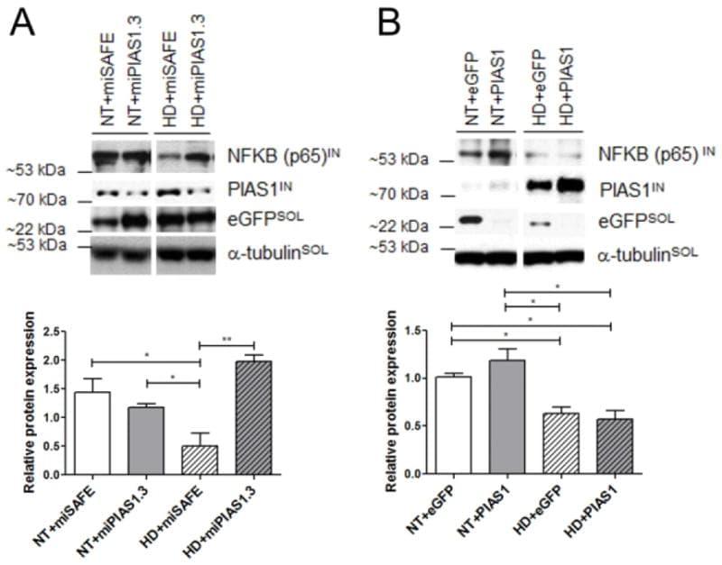PIAS1 Antibody (39-6600)