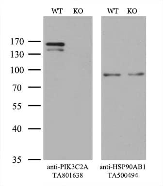 PIK3C2A Antibody in Knockout