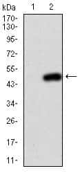 PIK3CA Antibody in Western Blot (WB)