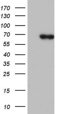PIK3CD Antibody in Western Blot (WB)