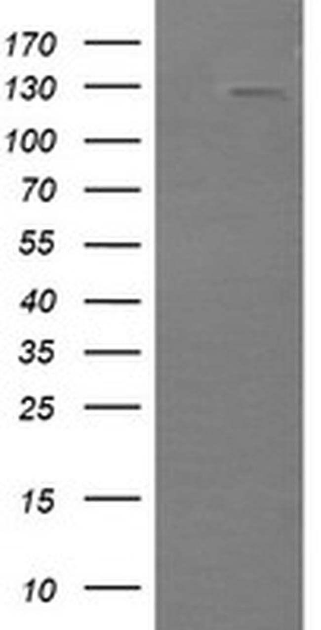 PIK3CG Antibody in Western Blot (WB)