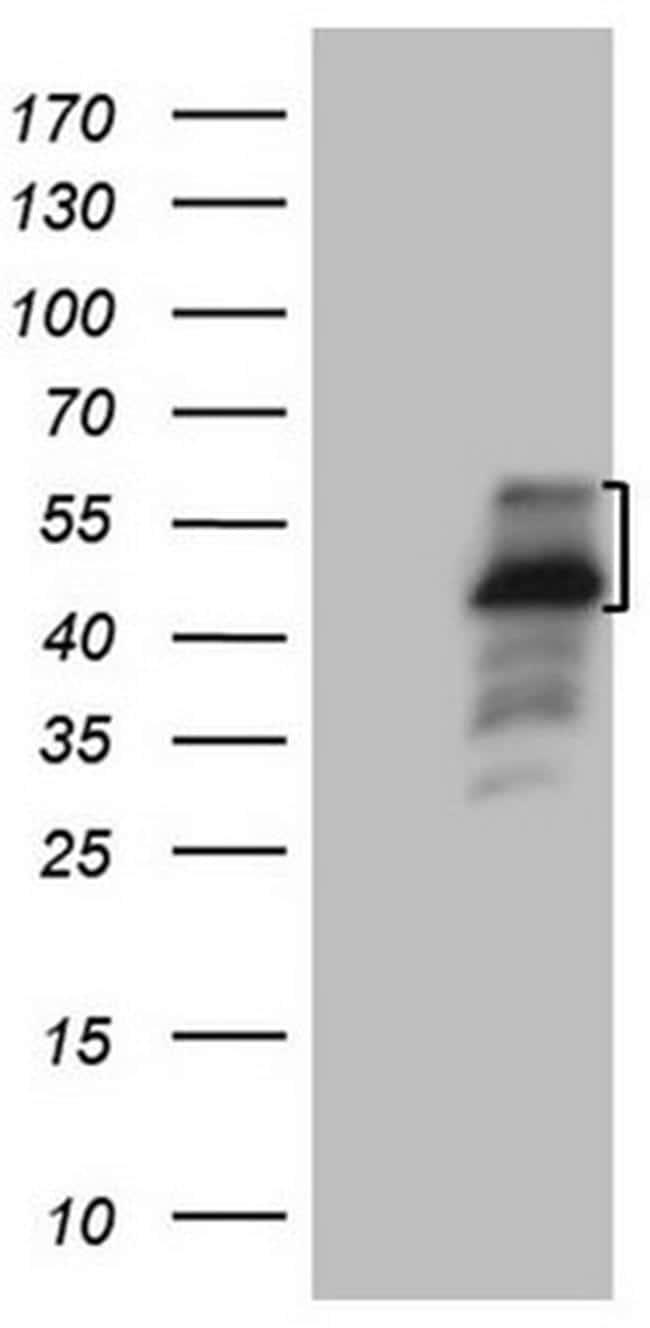 PISD Antibody in Western Blot (WB)