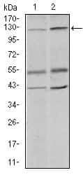PIWIL4 Antibody in Western Blot (WB)