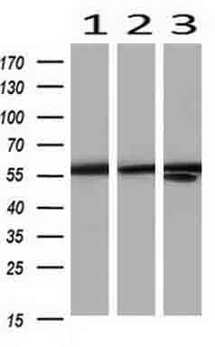 PKM2 Antibody in Western Blot (WB)