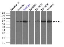 PLK1 Antibody in Immunoprecipitation (IP)