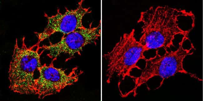 PMCA ATPase Antibody in Immunofluorescence (IF)