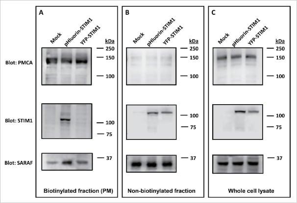 PMCA ATPase Antibody