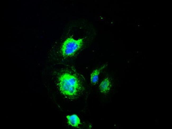 PMEL Antibody in Immunofluorescence (IF)