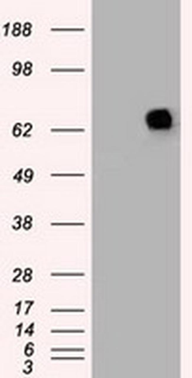 PMEL Antibody in Western Blot (WB)