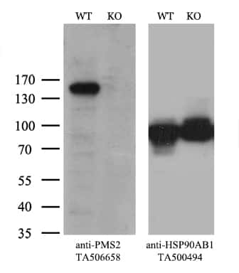 PMS2 Antibody in Western Blot (WB)