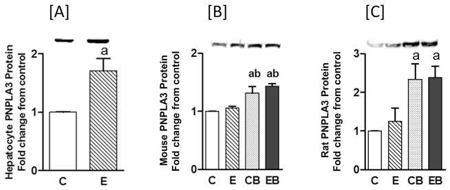 PNPLA3 Antibody