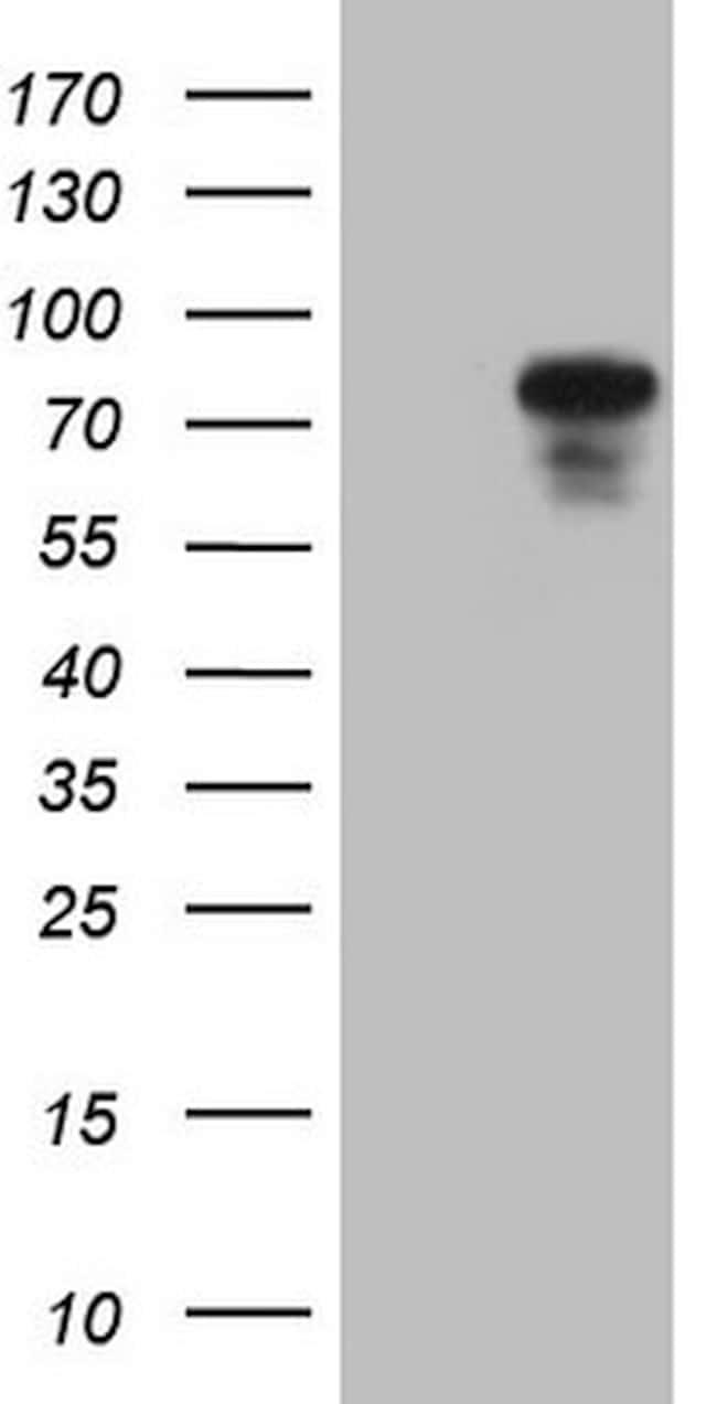 PODXL Antibody in Western Blot (WB)