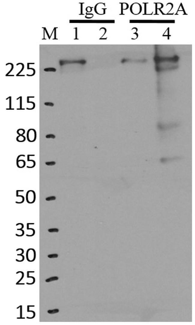 POLR2A Antibody in Immunoprecipitation (IP)