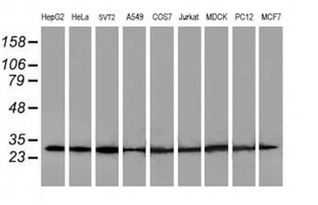 POLR2E Antibody in Western Blot (WB)