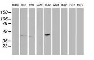 PON1 Antibody in Western Blot (WB)