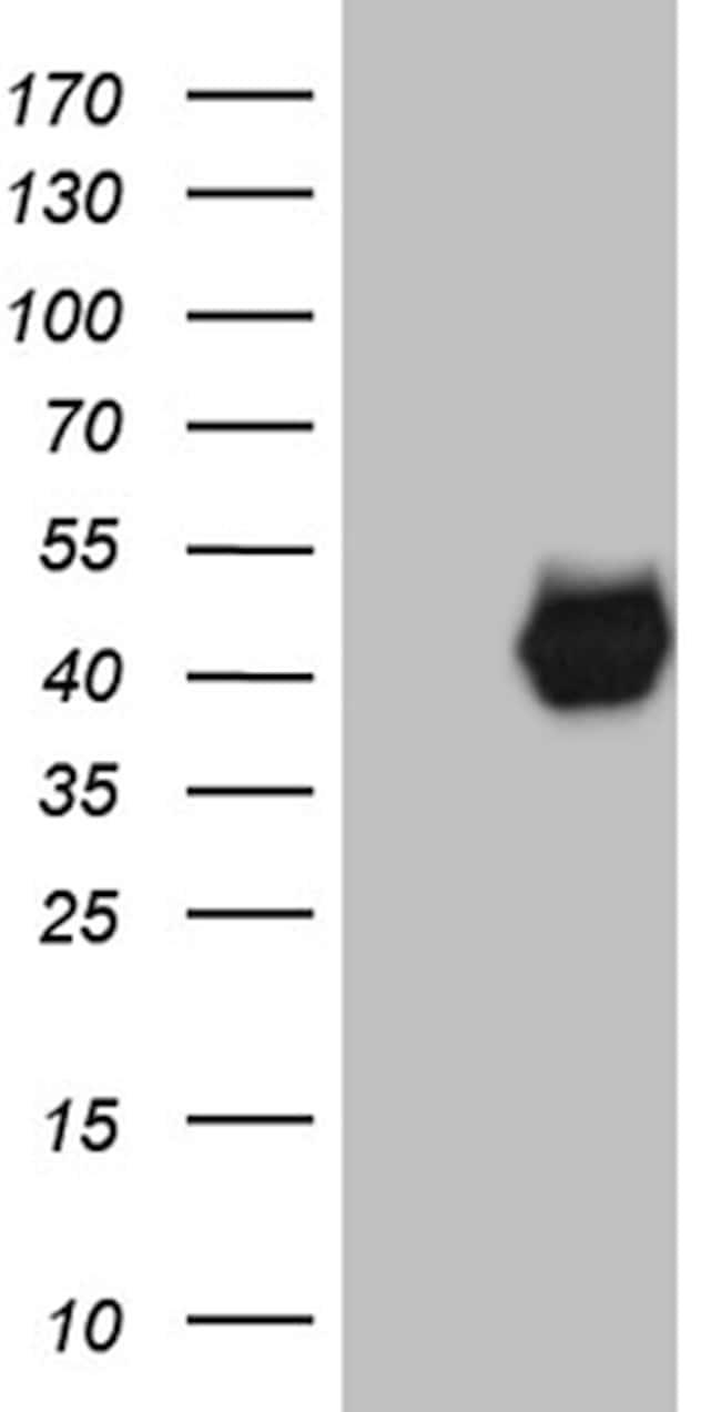PON3 Antibody in Western Blot (WB)
