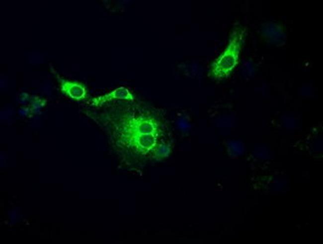 POR Antibody in Immunocytochemistry (ICC/IF)