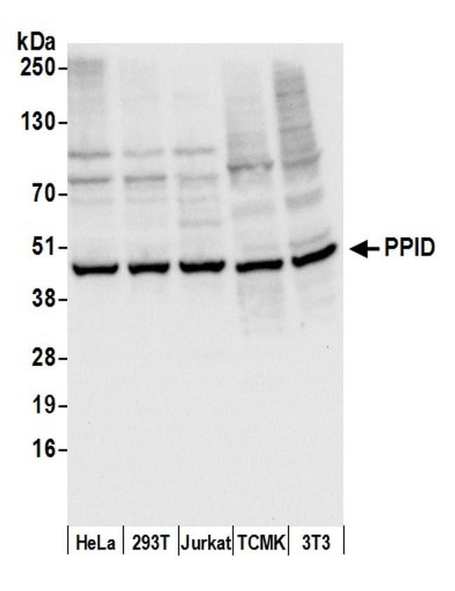 PPID Antibody in Western Blot (WB)