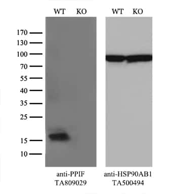 PPIF Antibody in Knockout