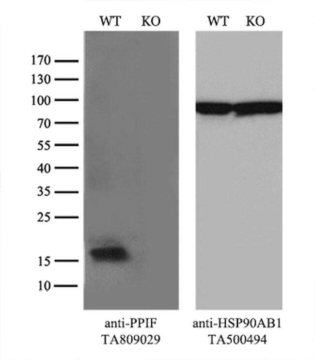 PPIF Antibody in Western Blot (WB)