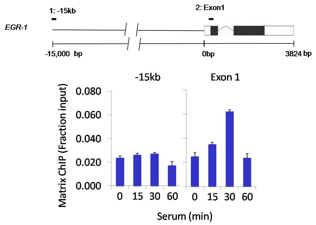 PPM1A Antibody in ChIP assay (ChIP)