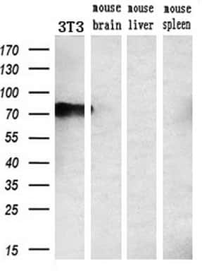 PPP1R15A Antibody in Western Blot (WB)