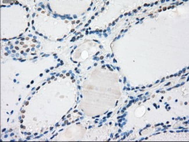 PPP5C Antibody in Immunohistochemistry (Paraffin) (IHC (P))