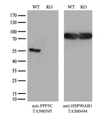 PPP5C Antibody in Knockout