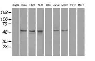 PPP5C Antibody in Western Blot (WB)