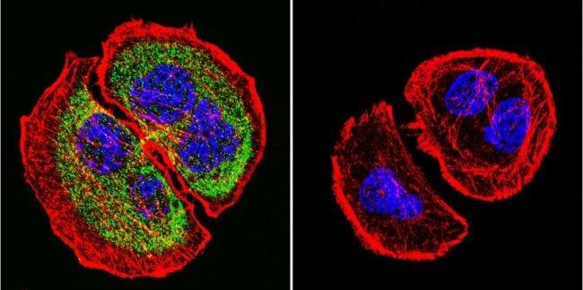 PRC1 Antibody in Immunofluorescence (IF)