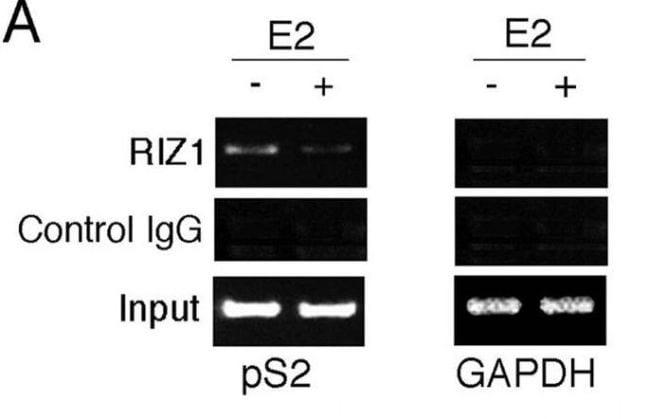 PRDM2 Antibody in ChIP assay (CHIP)