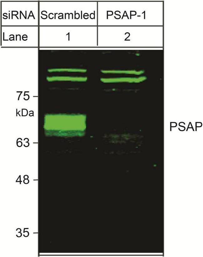 PSAP Antibody in Western Blot (WB)