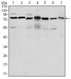 PSIP1 Antibody in Western Blot (WB)