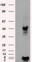 PSMC3 Antibody in Western Blot (WB)