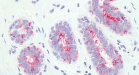 PTGER3 Antibody in Immunohistochemistry (Paraffin) (IHC (P))