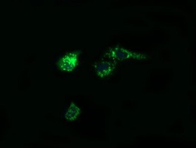 PTGES2 Antibody in Immunofluorescence (IF)