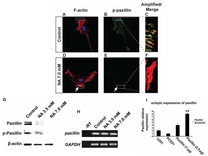 Paxillin Antibody