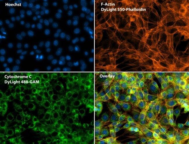 Phalloidin Antibody in Immunofluorescence (IF)