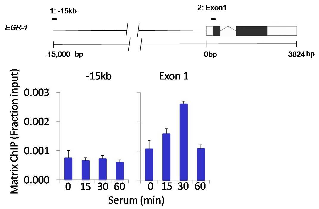 Phospho-AKT1 (Ser473) Antibody in ChIP assay (ChIP)