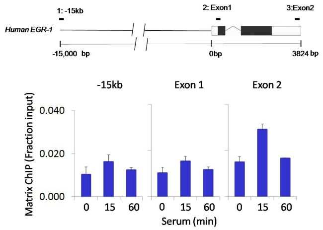 Phospho-PYK2 (Tyr402) Antibody in ChIP assay (ChIP)