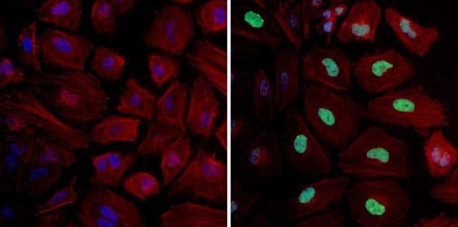 Phospho-Histone H3 (Ser10) Antibody in Immunocytochemistry (ICC/IF)