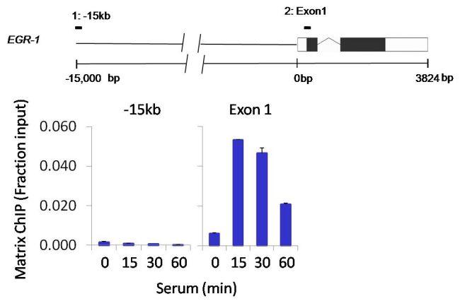 Phospho-POLR2A (Ser2, Ser5) Antibody in ChIP assay (ChIP)