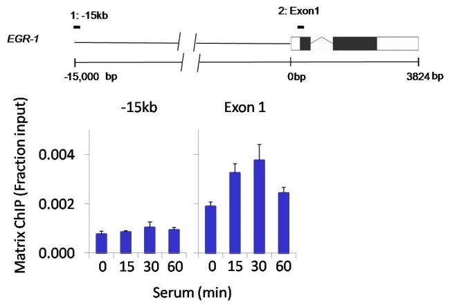 Phospho-JNK1/JNK2 (Thr183, Tyr185) Antibody in ChIP assay (ChIP)