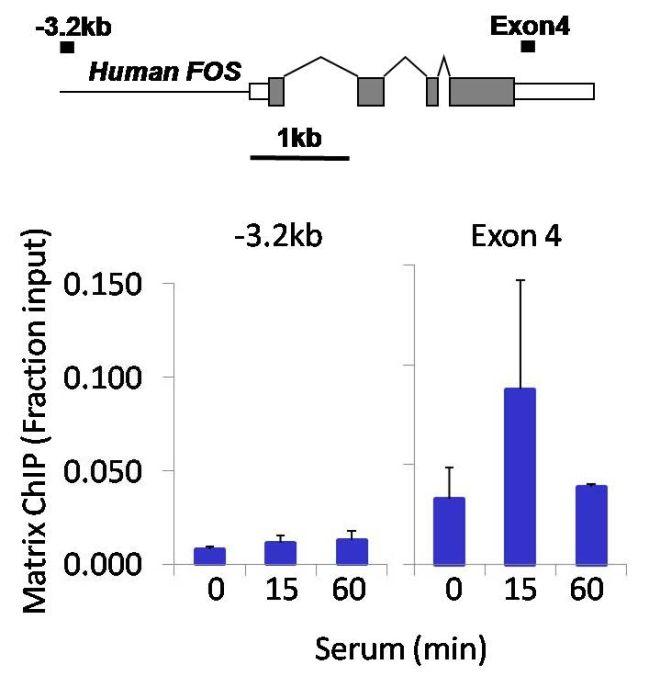 Phospho-p53 (Ser15) Antibody in ChIP assay (ChIP)