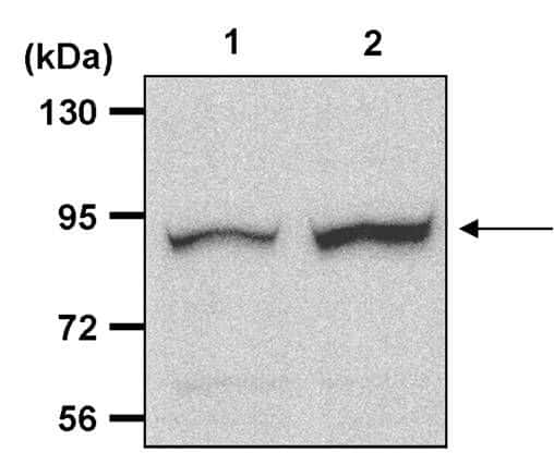 Phospho-RSK1 (Thr573) Antibody in Western Blot (WB)