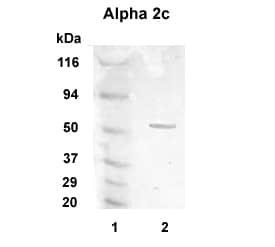 Alpha 2c Adrenergic Receptor Antibody in Western Blot (WB)